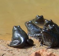 River frog metamorphs