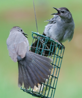 Gray catbirds fighting over suet. Terry W. Johnson