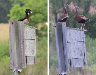 Wood and black-bellied whistling ducks on box