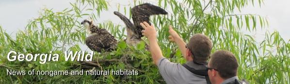 Georgia Wild masthead: Osprey rescue