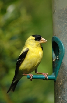 Goldfinch at feeder