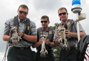 Rangers with juvenile ospreys