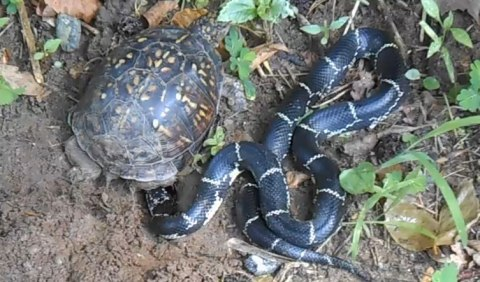 Turtle and kingsnake