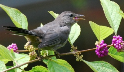 Gray catbird eating beautyberry. Terry W. Johnson