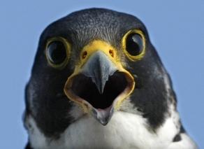 Peregrine falcon (AJC)