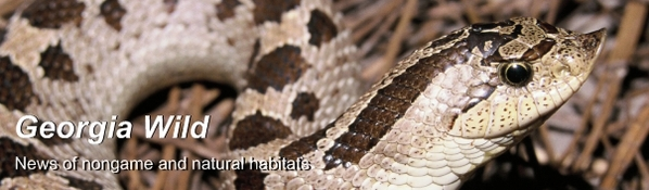 Ga. Wild masthead: southern hognose snake