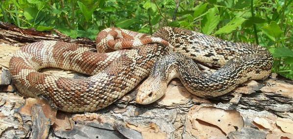 Pine snake. Lora L. Smith