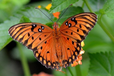 Gulf fritillary. Terry W. Johnson