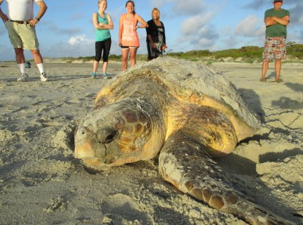 Loggerhead on St. Simons