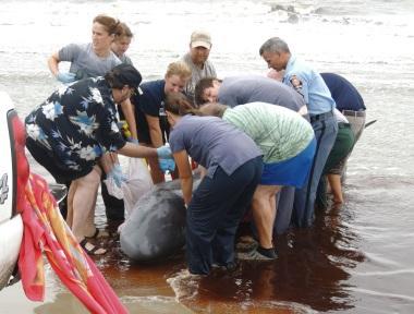 Stranded pygmy sperm whale