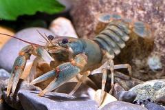 Beautiful crayfish