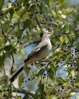 Mockingbird in sugarberry tree