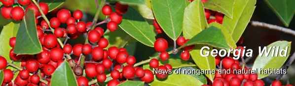 Ga. Wild masthead: holly berries