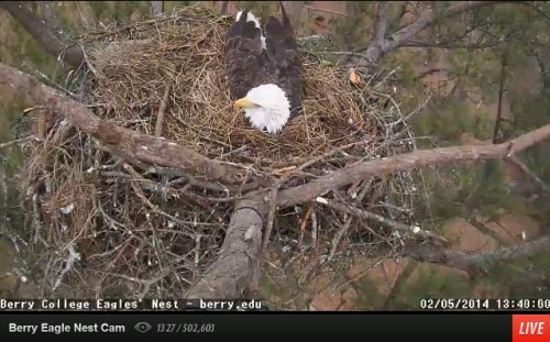 Berry eagle cam