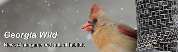 Ga. Wild masthead: cardinal at feeder
