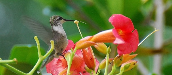 Ruby-throated hummer at trumpet creeper