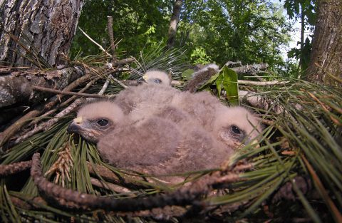 Red-shouldered hawks in nest platform. (Credit: Pete Pattavina)