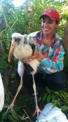 Banding wood stork