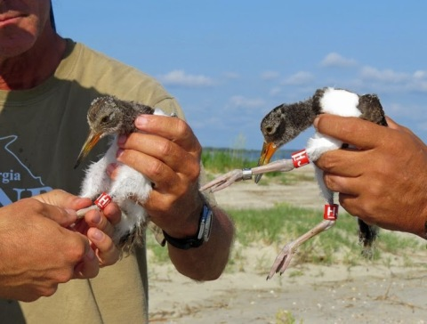 Banded American oystercatcher chicks at Tybee. Diana Churchill