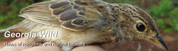 GaWild Masthead: Bachman's sparrow