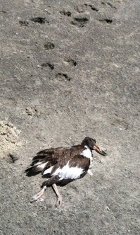 American oystercatcher chick killed by a dog