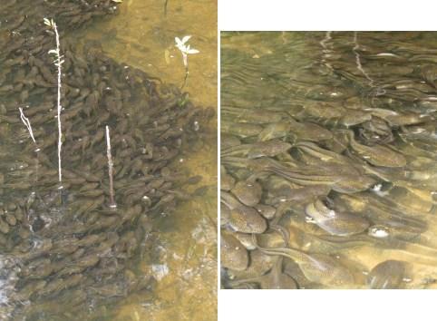 River frog tadpoles in Ohoopee River. Dirk J. Stevenson