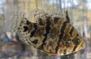 Black-banded sunfish.