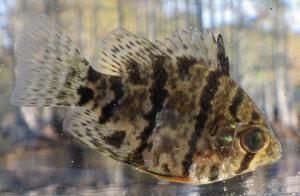 Black-banded sunfish.