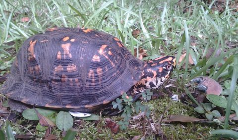 Box turtle. Heather Jones