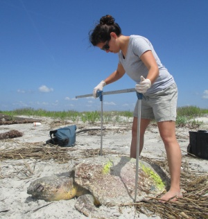 Measuring nesting loggerhead