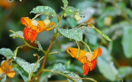 Jewelweed. Terry W. Johnson