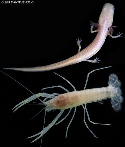 Georgia blind salamander and Dougherty Plain cave crayfish