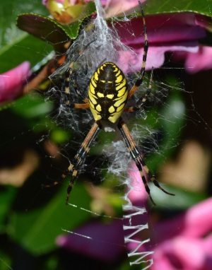 Argiope spider (Terry Johnson)
