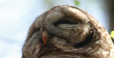 Barred owl (Josiah Lavender)