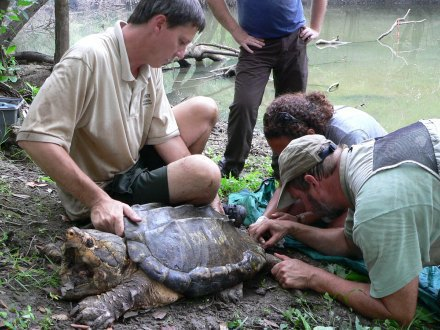 Alligator snapping turtle research