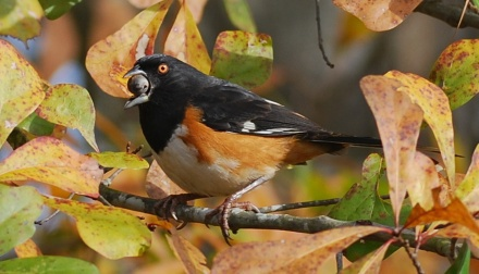 Eastern towhee with acorn. Terry W. Johnson