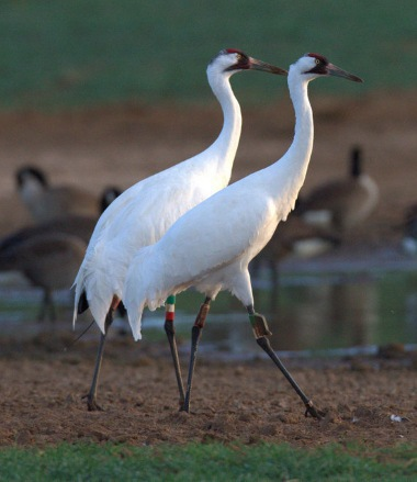 Whooping Cranes. Kim Mitchell/WCEP