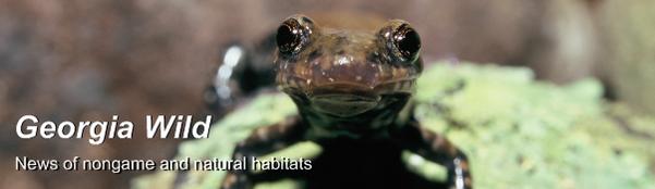 GaWild masthead: Pigeon Mountain salamander