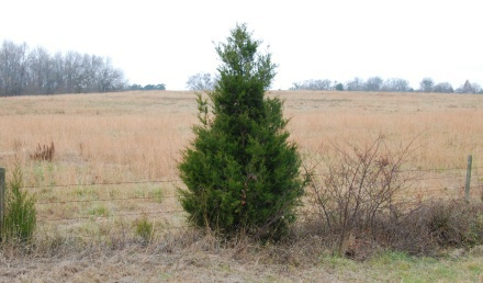 Eastern red cedar. Credit: Terry W. Johnson