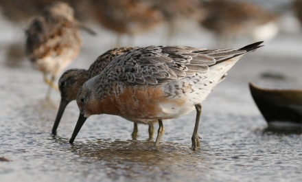 Red knots (Credit: Brad Winn)
