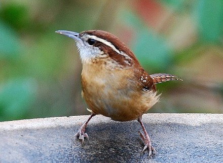 Carolina wren. Terry W. Johnson