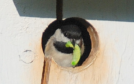 Chickadee in box