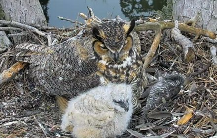 Owl and owlet at The Landings