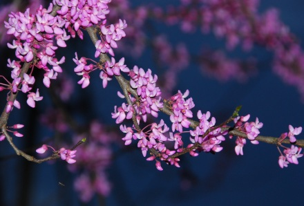 Redbuds in bloom. Terry W. Johnson