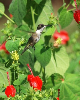Hummingbird. Terry W. Johnson