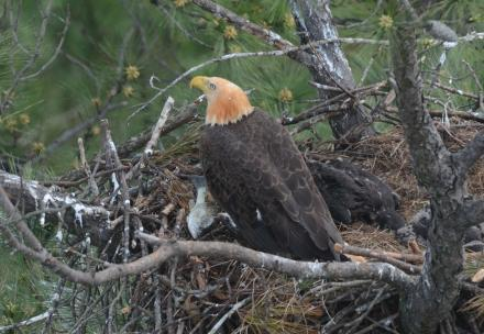Eagle (head stained orange) on nest