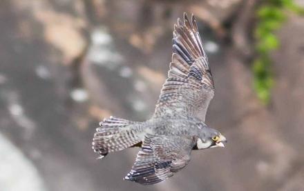 Tallulah falcon. Danny Young