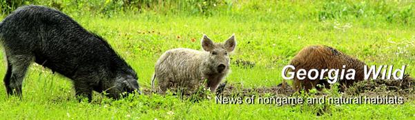 GaWild Masthead: wild hogs