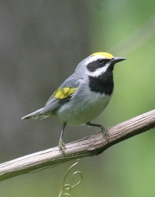 Golden-winged warbler. Pierre Howard