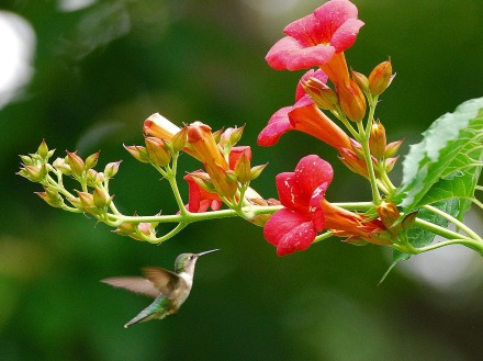 Trumpet creeper and hummingbird